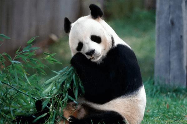 Cuidar a los Osos Panda
